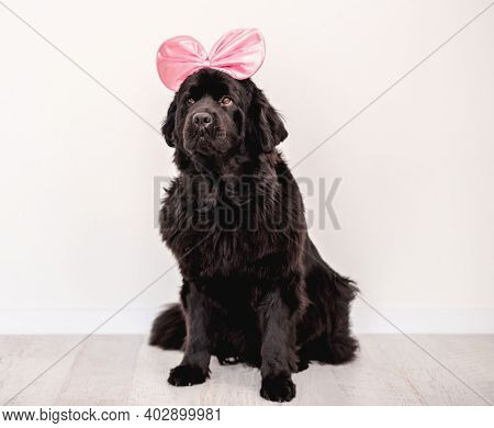 Newfoundland dog wearing bright bow hoop