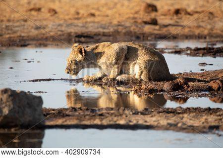 Lion At Etosha National Park, Namibia, Africa.