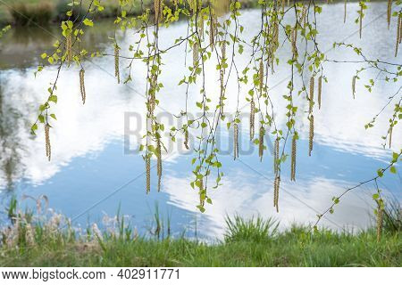 Florescent Branches Of A Birch Tree With Fresh Leaves, Hanging Over A Pond. Spring Landscape