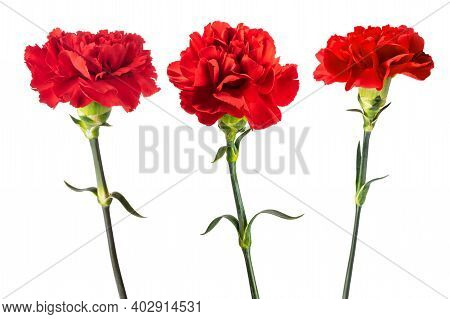 Red Carnations Flowers Isolated On White Background