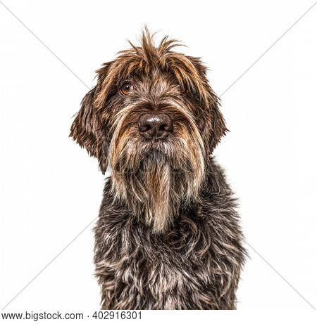 Head shot of a Korthals Griffon isolated on white