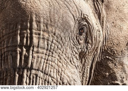 African elephant, loxodonta africana, face close up showing the upper trunk, eye and ear, with the skin crusted in dry mud to help regulate body temperature. Amboseli National Park, Kenya