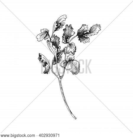 Cilantro Fresh Branches And Leaves. Vector Gray Vintage Hatching Illustration Isolated On A White Ba