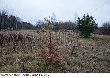 Young Spruce In The Autumn Forest In Cloudy Weather. High Quality Photoyoung Spruce In The Autumn Fo
