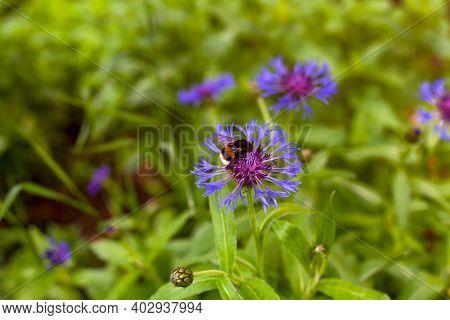 Bumblebee On Cornflower In Meadow. Non-urban Scene.