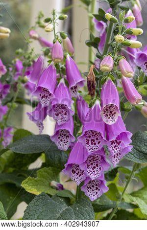 Close-up Purple Flowers Of Foxglove - Digitalis Purpurea. Popular Garden Plant.