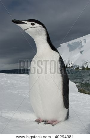 Antarctic penguin (Pygoscelis antarctica) on the background of the ocean and ice. poster