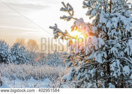 The Winter Sun Shines Through The Snow-covered Pine Branches. Winter Nature. Trees Covered With Snow