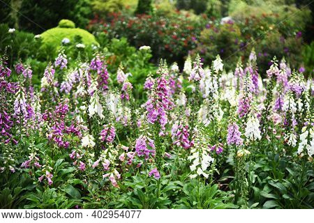 A Flower Bed Of White And Pink Foxglove Flowers, Blurry Flowering Shrubs And Flower Beds In The Back