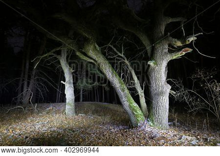 Night landscape with old oak trees in forest