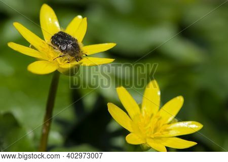 Beetle Tropinota Hirta On Yellow Meadow Flowers Ficaria Verna. Beetle On A Spring Flower, Close-up,