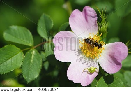 Wasp And Spider On Rosehip Flower. A Delicate Pink Wild Rose Flower, A Small Green Spider, Diaea Dor