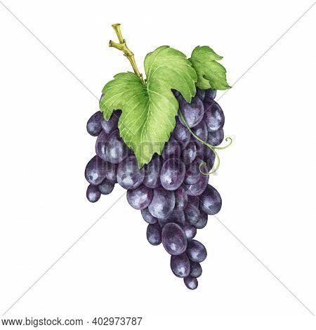 Black Grape Bunch Watercolor Image. Realistic Ripe Organic Purple Grape Heap. Delicious Dark Violet