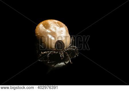 Mite Is A Dangerous Parasite And Carrier Of Infections On A Black Background.