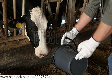 Worker Feeding Cow On Farm, Closeup. Animal Husbandry