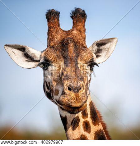 Rothschild giraffe, Giraffa camelopardalis rothschildi, against blue sky background. This subspecies of Northern giraffe is endangered in the wild.