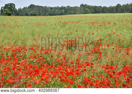 Summer Landscape With Farmers Cornfield And Blossom Poppies
