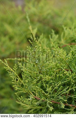 Shore Juniper Blue Pacific - Latin Name - Juniperus Conferta Blue Pacific