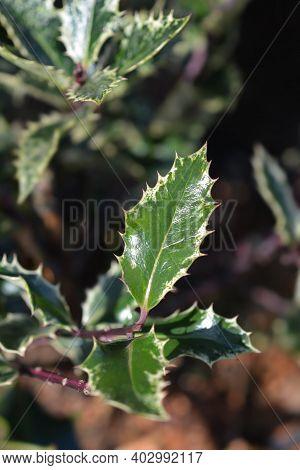 Holly Ingramii Leaves - Latin Name - Ilex Aquifolium Ingramii