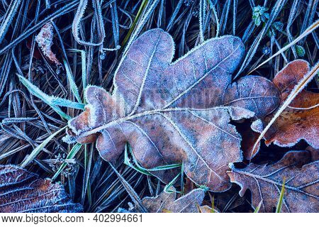 Frozen dry oak leaf in green grass