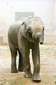 Elephant in the zoo. Looking straight into camera. poster