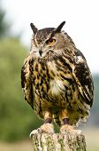 Eurasian Eagle Owl (bubo bubo) also known as the european eagle owl perched on log poster
