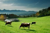 group of cows on green grass in front of mountains poster