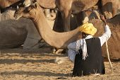 Camel herder rests amongst the crowds of camels at the Pushkar Fair in Rajasthan India poster