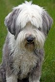 Bearded Collie dog sitting in a green meadow poster