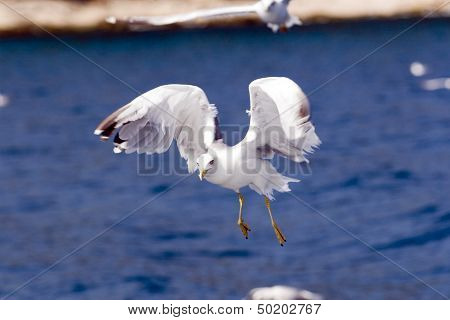 Seagull flight with sea waves in background