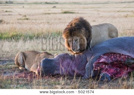Lions Feasting On Hippo Carcass