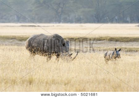 Southern White Rhino With Her Calf