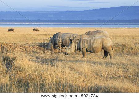Herd Of  White Rhinos