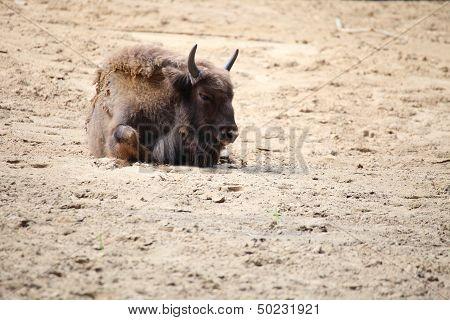 Wisent European animal brown bison in Poland poster