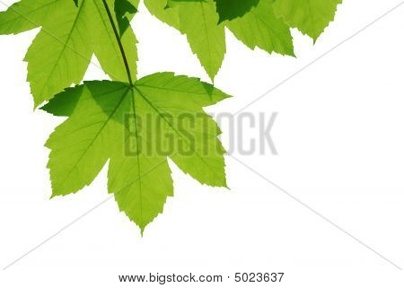 Leaves Isolated