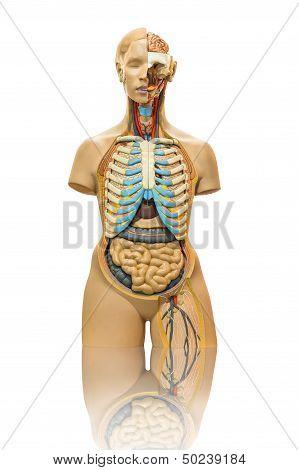 Isolated Male Anatomy Model On White