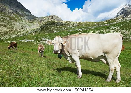 milck cow with bell grazing on Switzerland Alpine mountains green grass pasture over blue sky poster