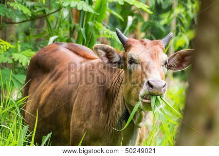 Brown Cow Eating In Pasture