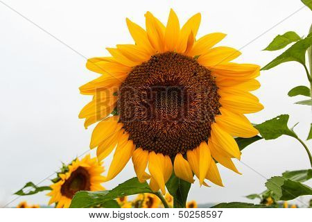 Close-up of a sunflower with green leaves