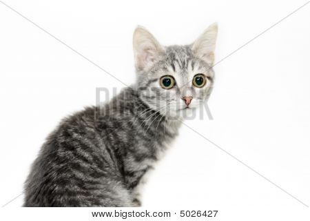 Tabby-cat Portrait