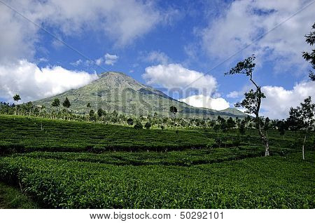 Tea Plantation Background