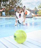 a corgi swimming in a public pool poster