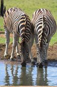 two zebras drinking with reflections in the water poster