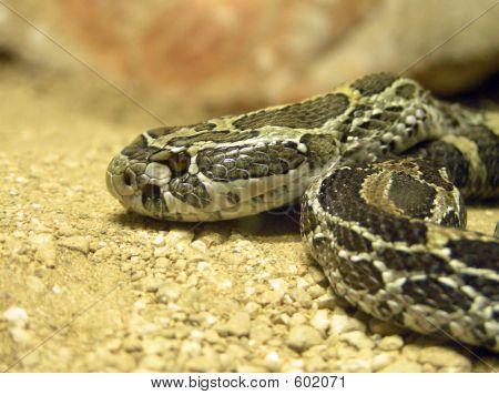 Rattlesnake Head Closeup