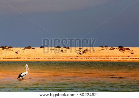 An Australian Pelican stands alone in water