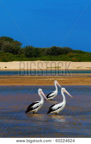 3 Australian Pelicans stand together in water
