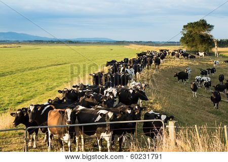 Cows Waiting