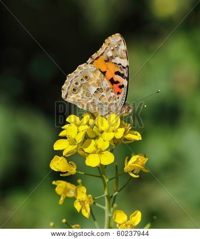 A Painted Lady butterfly (Vanessa cardui) feeding from a brassica flower in Doha, Qatar, Arabia, showing the markings on the underside of the wing