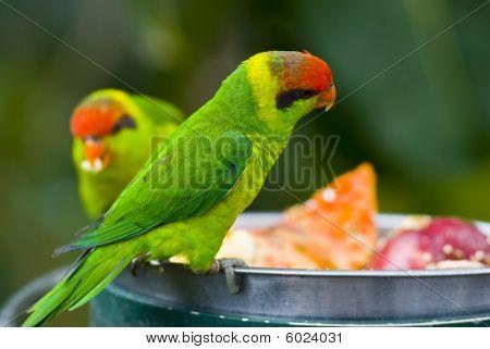 Green birds eating