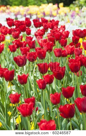 Nnice Red Tulips